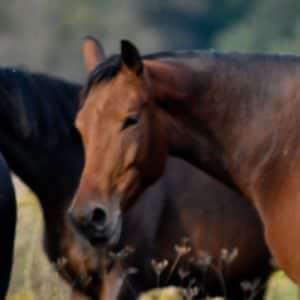 Sepia Hodowla koni dolnośląskie