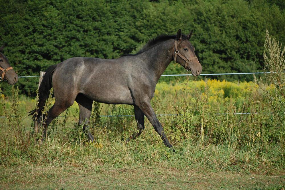 Shantal hodowla koni dolnośląskie